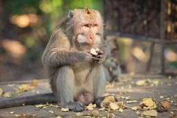 transplantation cardiaque du porc au singe