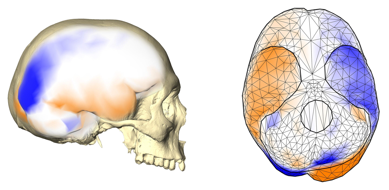 modèle d'asymétrie cérébrale