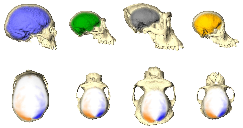 asymétrie du cerveau animaux